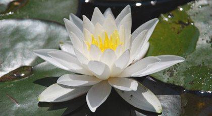 weisser-lotos